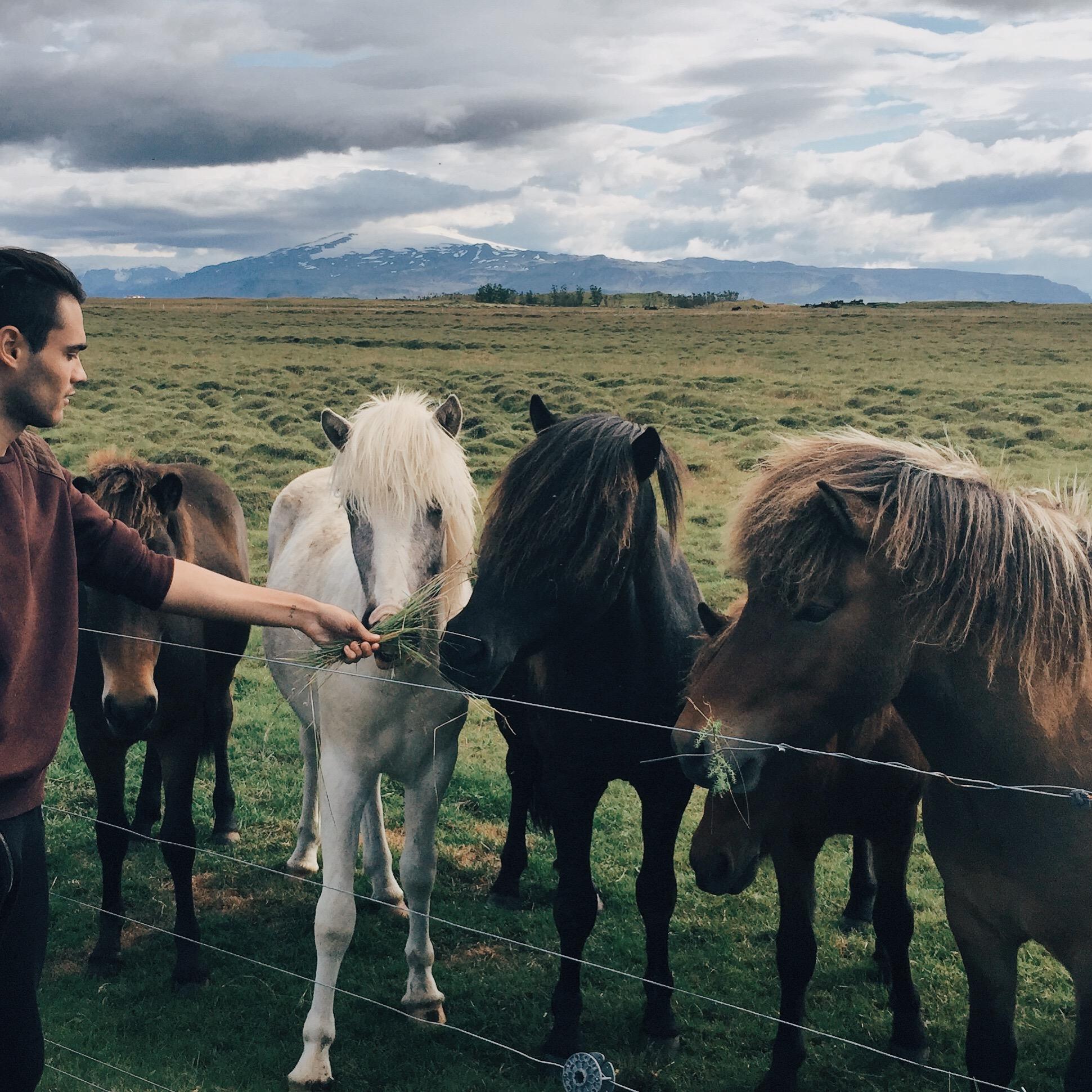 horses_iceland